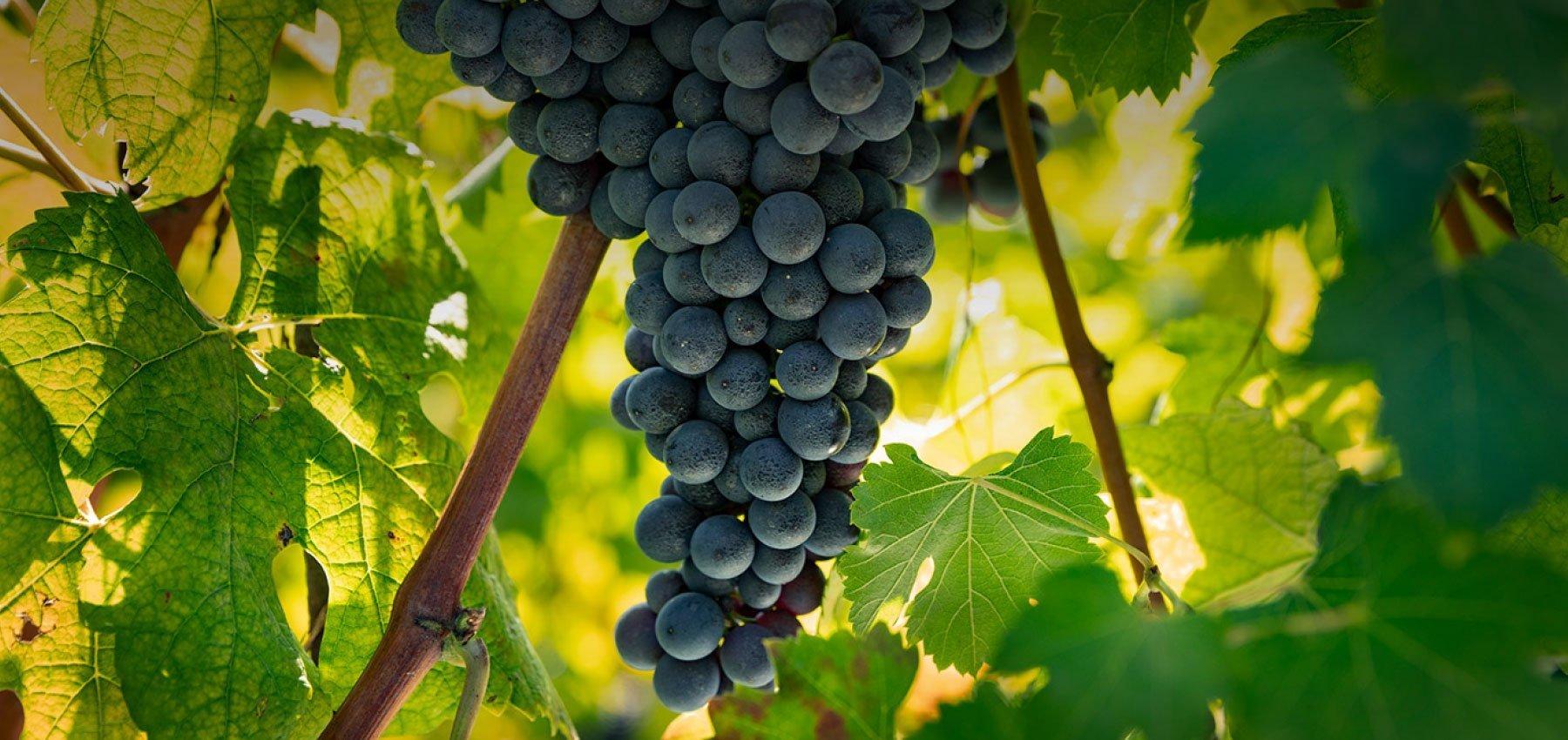 Azienda Agricola Le Ginestre - Cantina e vendita vini a Grinzane Cavour